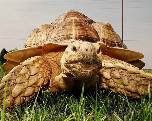 Charlie the Tortoise