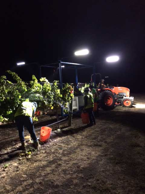 Fe Ciega Night Harvest