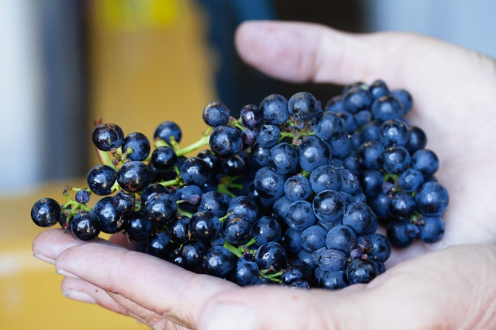 Pinot Grapes in hand