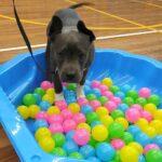 Puppy preschool dog training class a puppy explores the ball bit