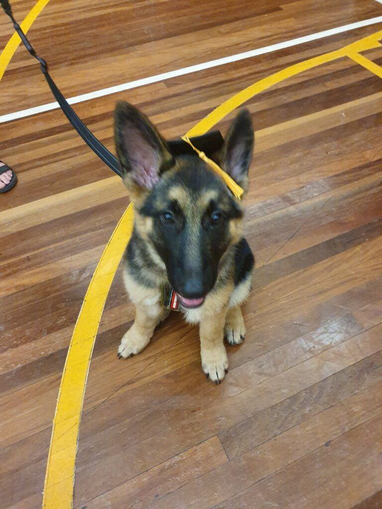 Lucy the German Shepherd Graduates Puppy Preschool