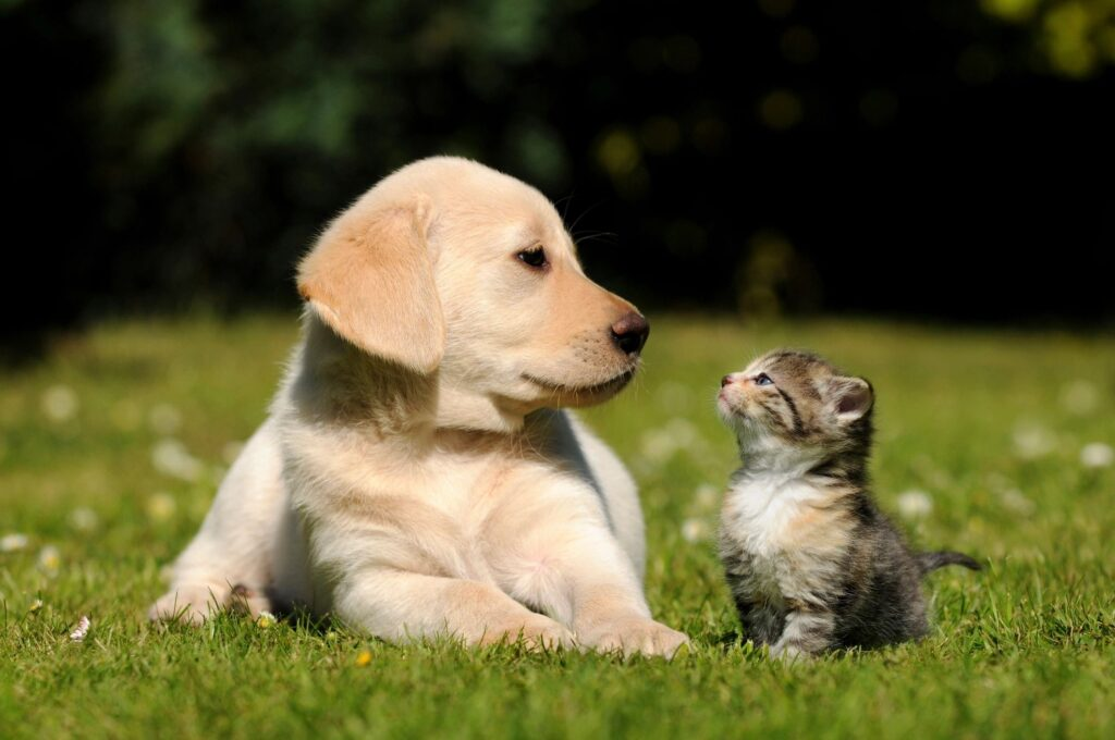 Picture of a labrador puppy with kitten