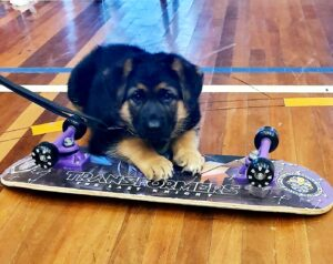 German Shepherd Puppy in Puppy Preschool exploring skateboard