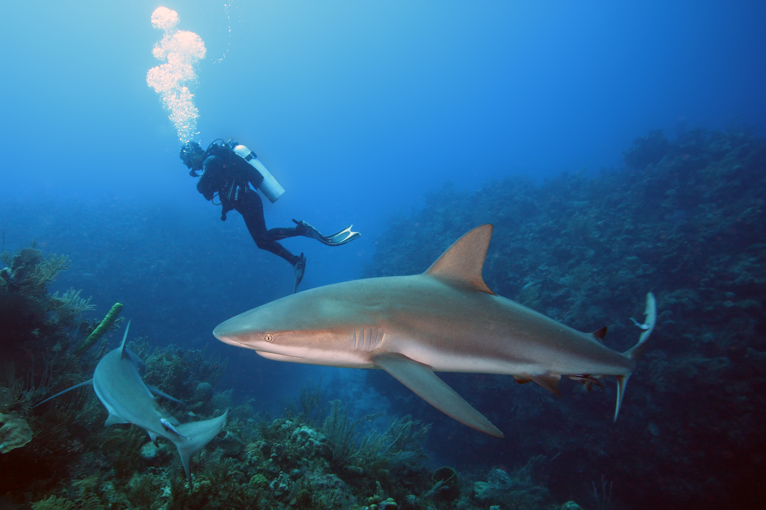 The Caribbean reef shark (Carcharhinus perezii) swims over reef in blue.