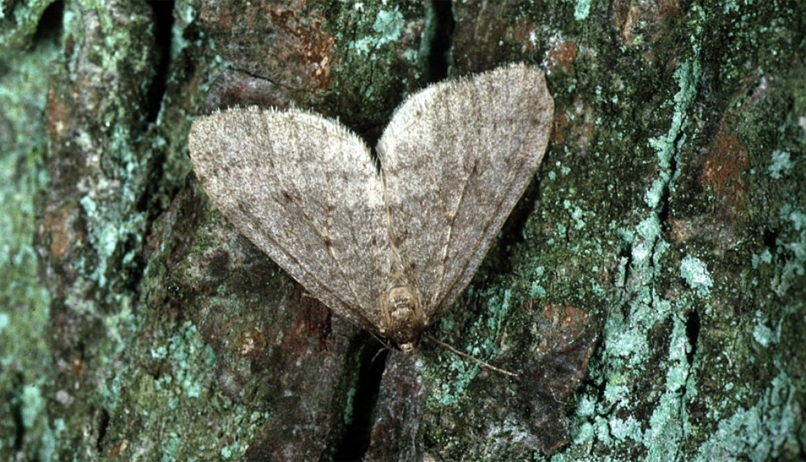 blog_winter_moth