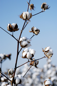 Organically grown cotton plant