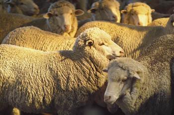 Herd of Organic Sheep