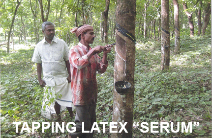 tapping latex from rubber tree