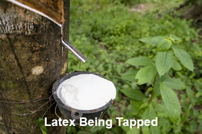 sustainable grove of latex trees