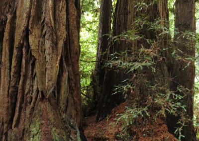 Giant Redwood Trees