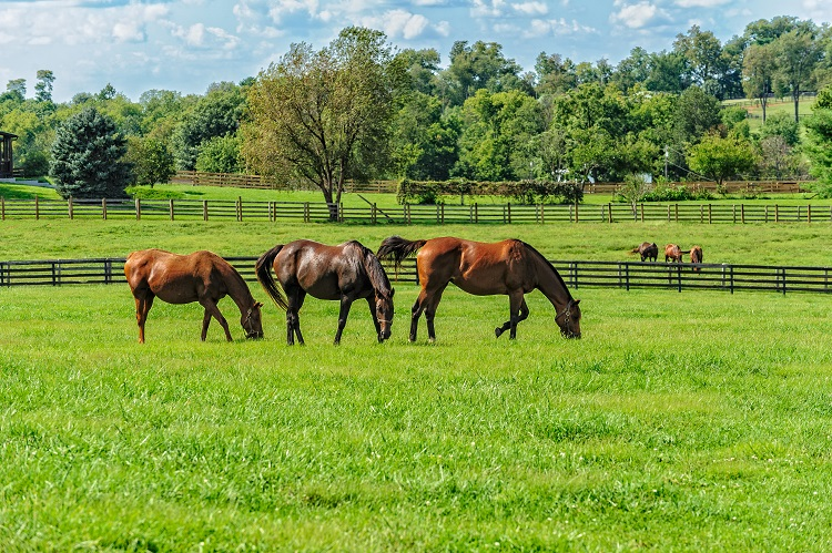 Two groups of Thoroughbred horses grazing in pastures where most horse monitoring is difficult. Farm Jenny can monitor horses in this setting.