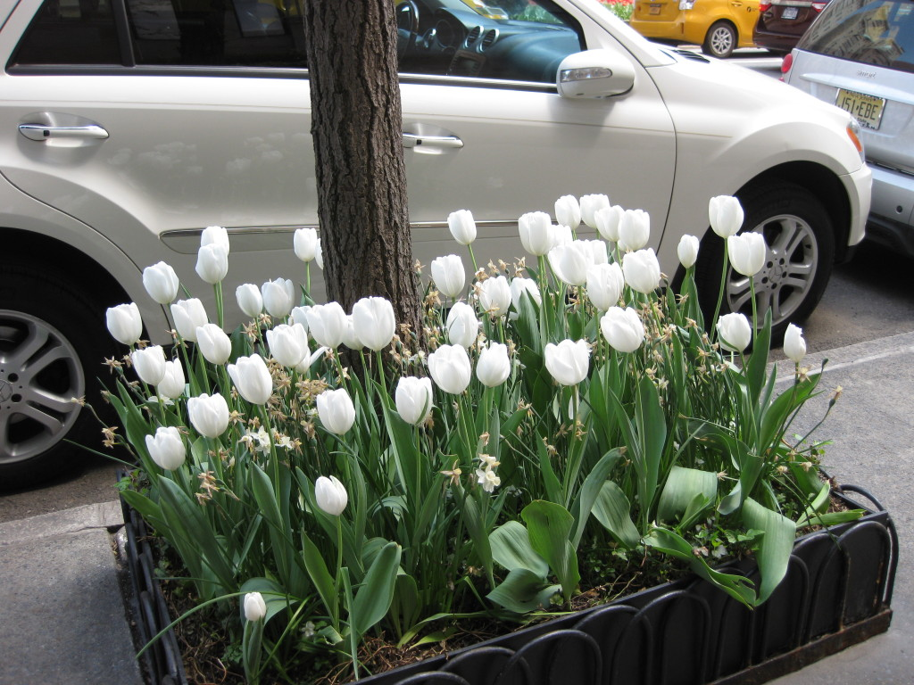 Blooming Tulips 2