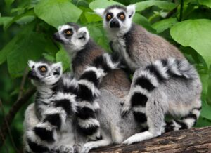 Ring-Tailed Lemurs Art Accent
