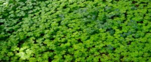 Green clover for St. Patrick's Day