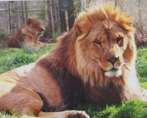 a picture of a lion
