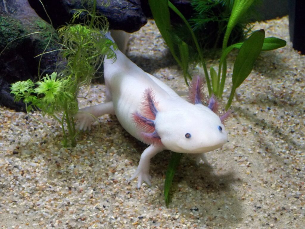 non-fiction writing lesson-axolotl