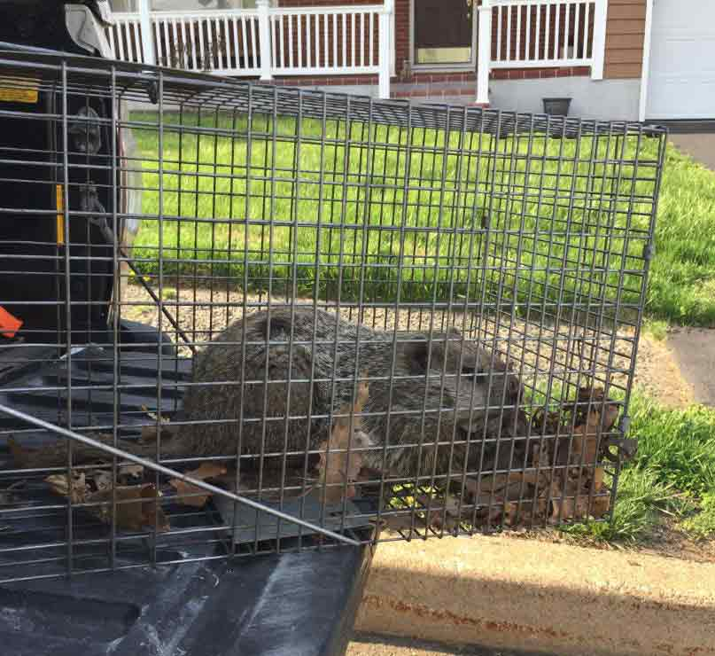 Groundhog Caught In Trap