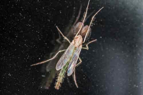 Midges Fly