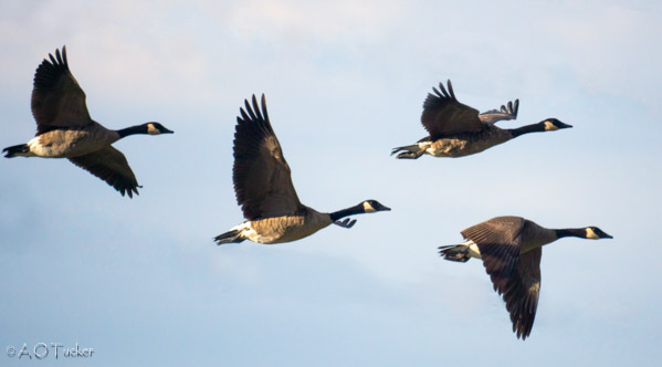 Geese In Flight Over The Preserve