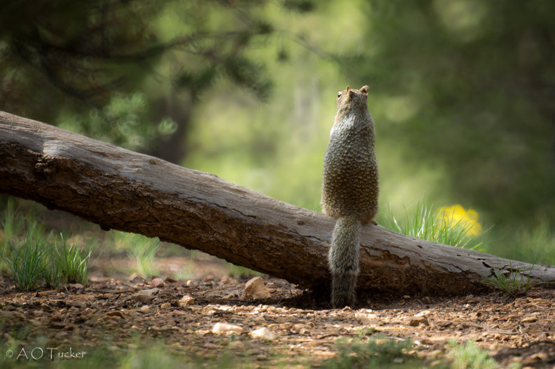 Squirrel On A Log With Bokay