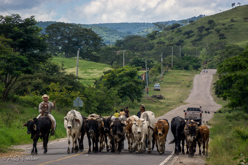 March Of The Cows