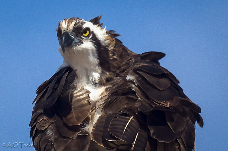 The Guardian - Osprey post