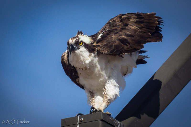 Osprey Pointing The Way
