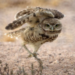 Dance Of The Owl - In The News