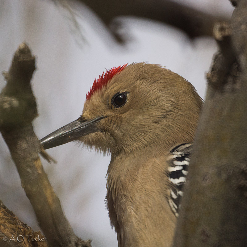 Red Cap Of The Gila Woodpecker