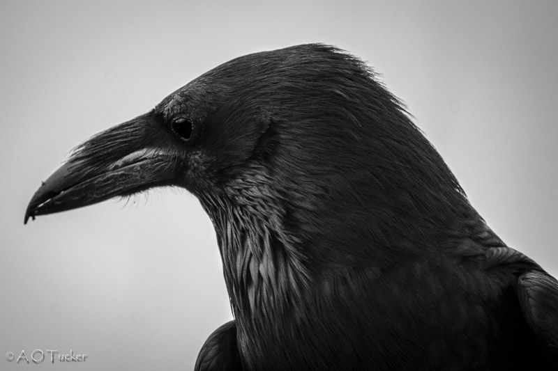 As The Raven Stares