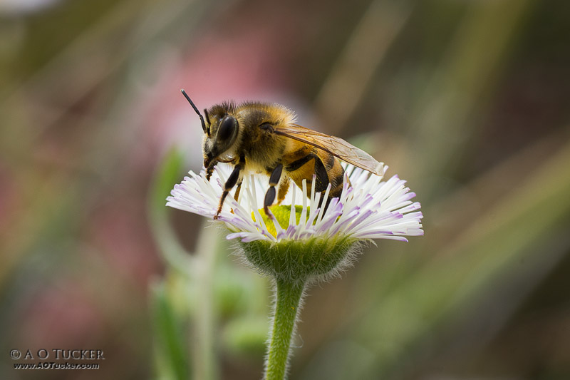 Wildflower And The Bee