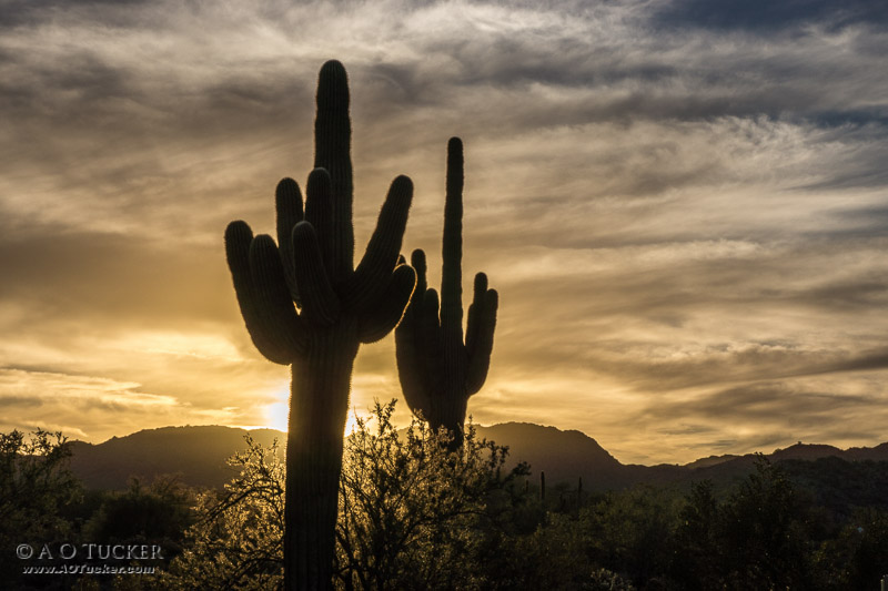 Two Cactus Sunset