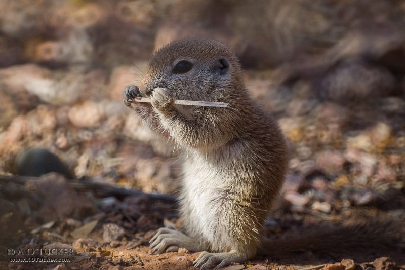 Musically Inclined - Round-tailed Ground Squirrel post