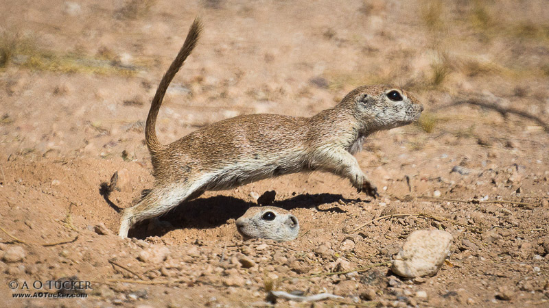 Round-tailed Leap Frog