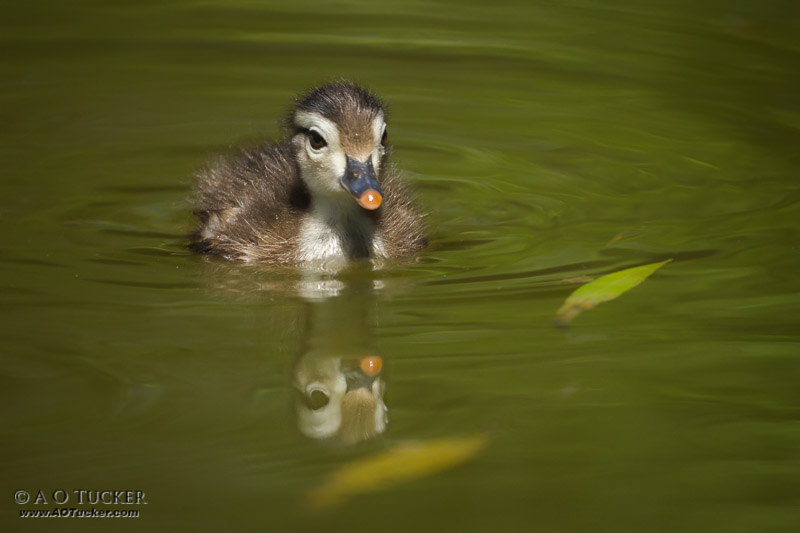 Duckling Reflection
