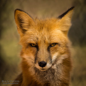 Eyes Of The Red Fox