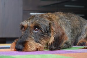 Pet Odor Removal and Pet Stain Removal Omaha | Big Red's Guaranteed Clean