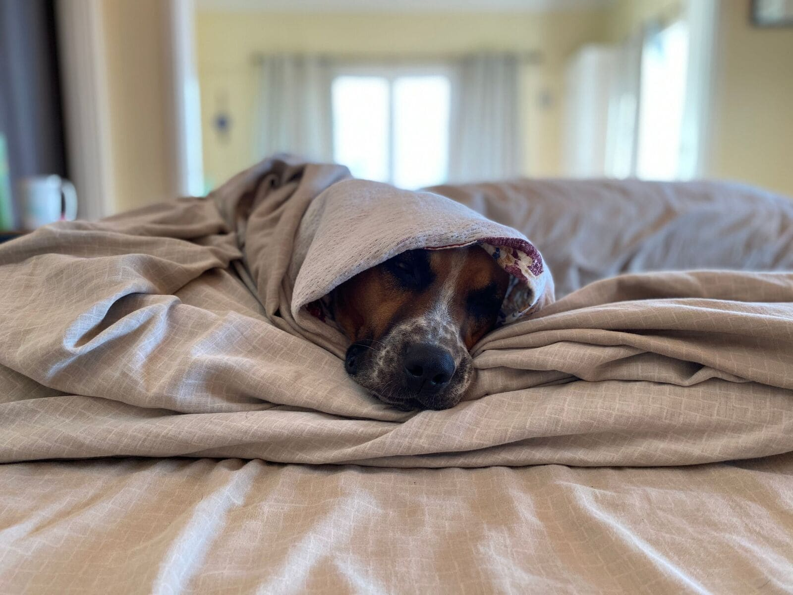 Dog wrapped in blankets