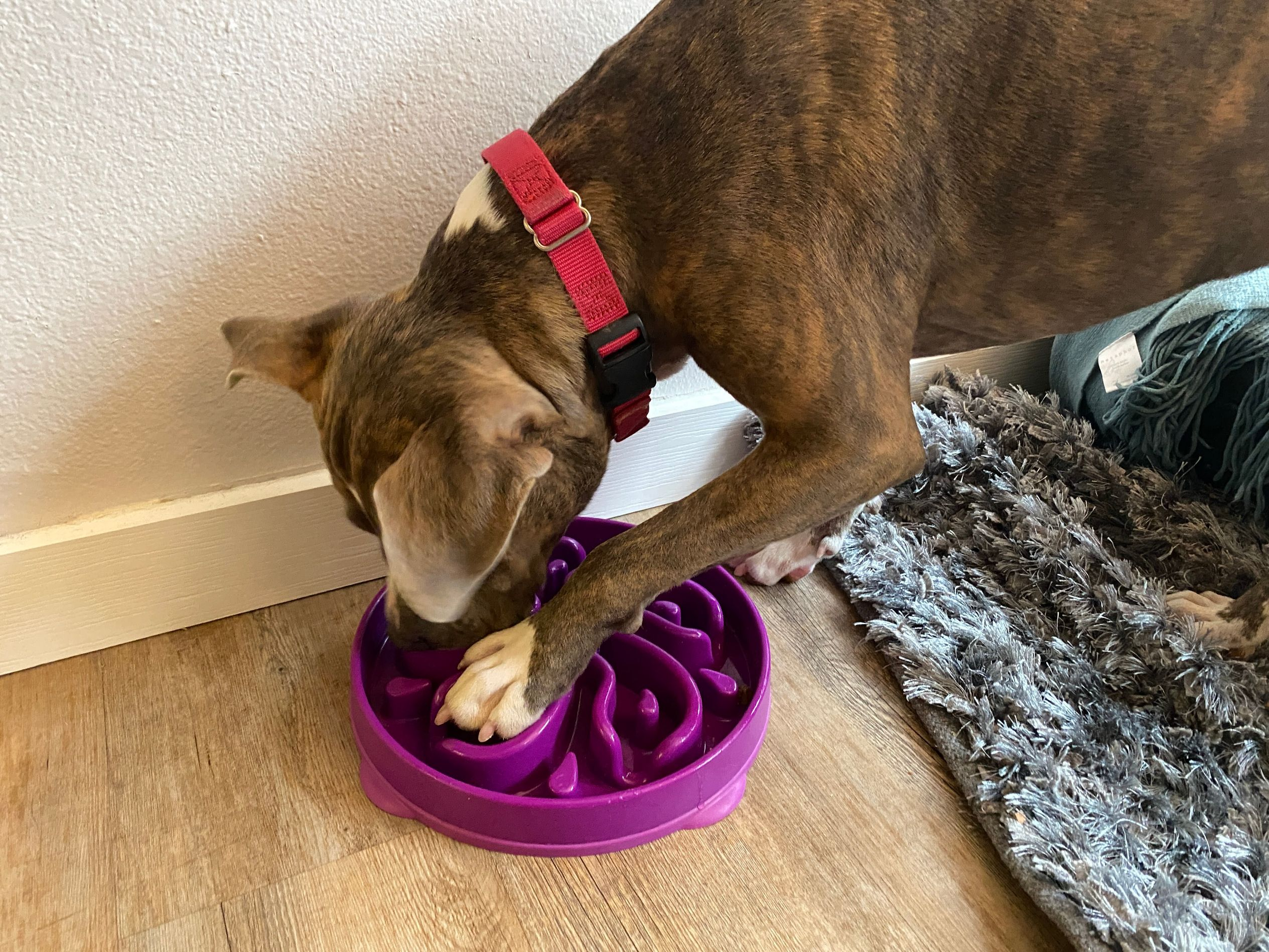Dog eating food from a maze bowl