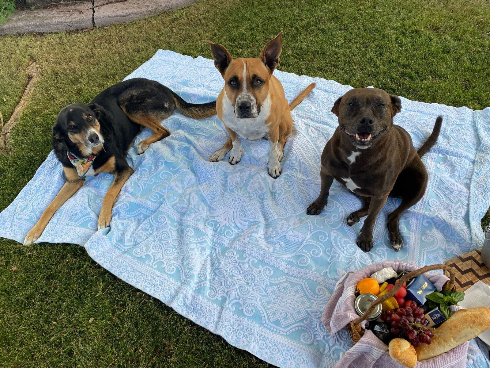 3 dogs on a blanket ready for a picinic