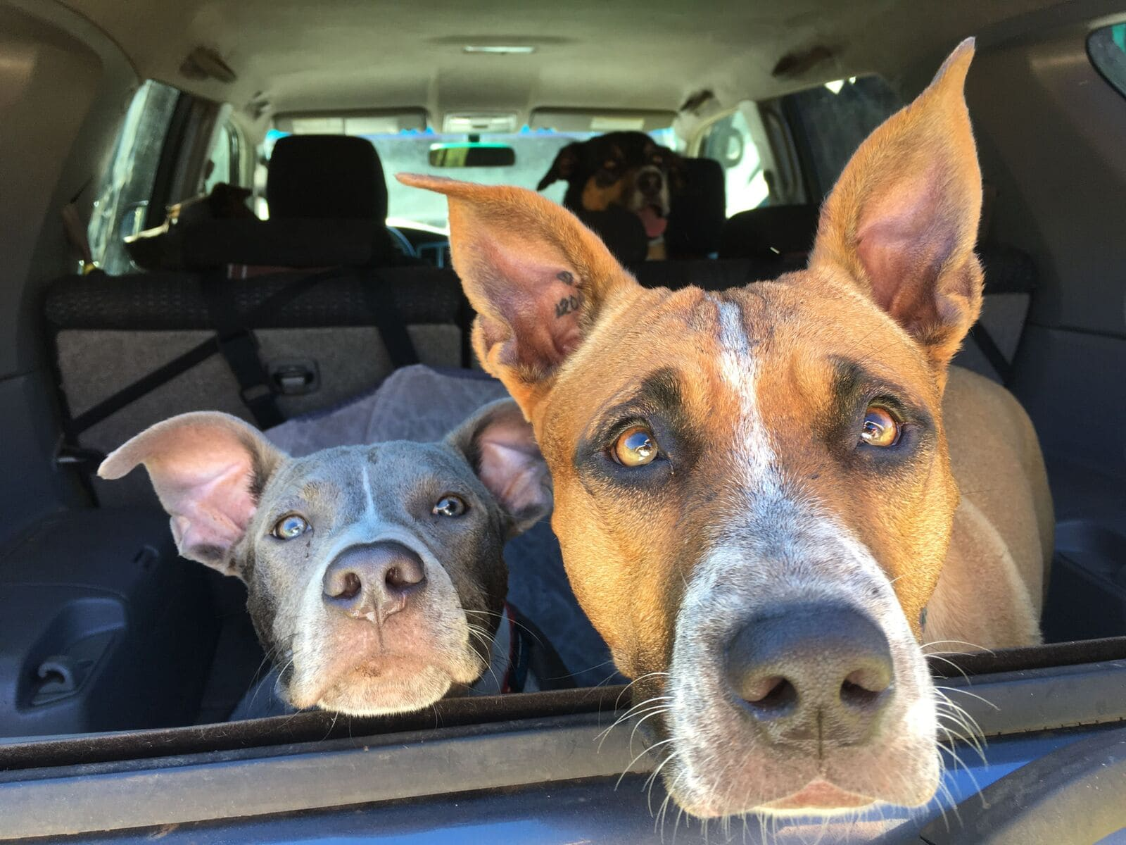 2 dongs with their heads out the window of a car with a 3rd dog looking from the back seat