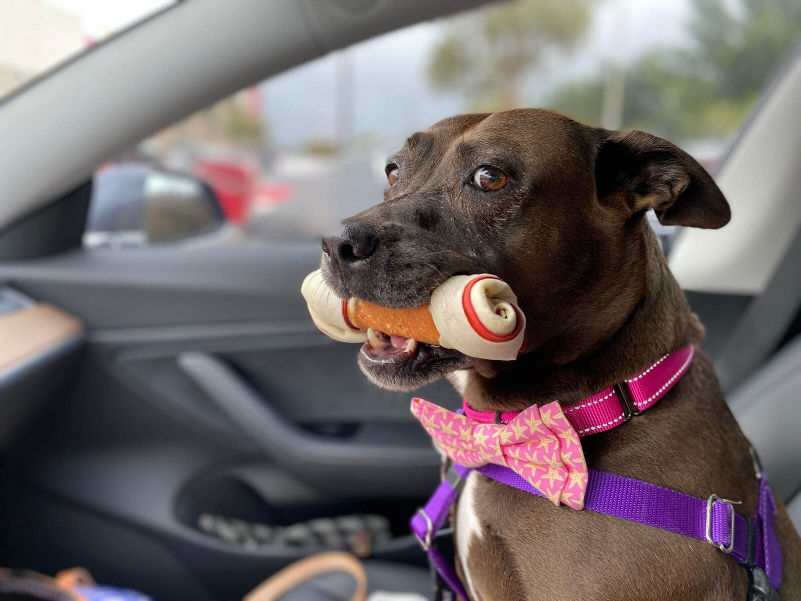 Dog sitting in the car with a bone in its mouth