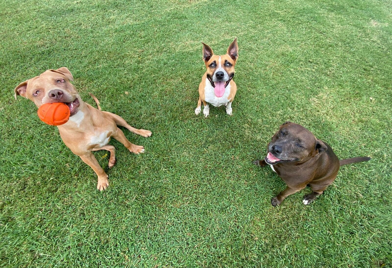3 dogs sitting in the grass, ready to play fetch
