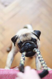 Dog pulling on a rope toy