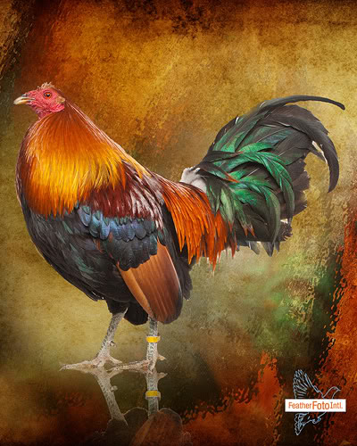 rooster for poster