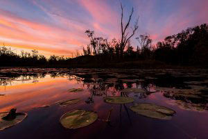 lily-pads-beautoful-great-swamp