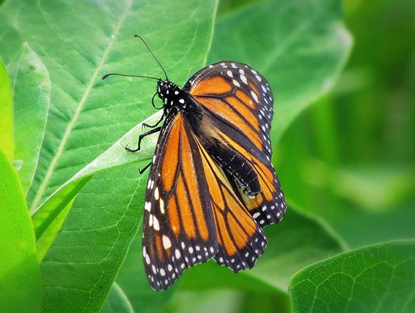 butterfly-new-york