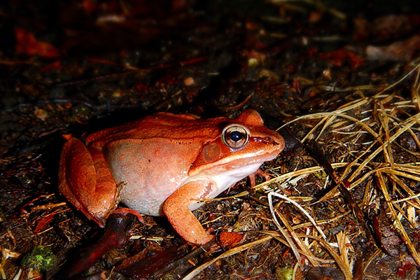 frogs-at-night