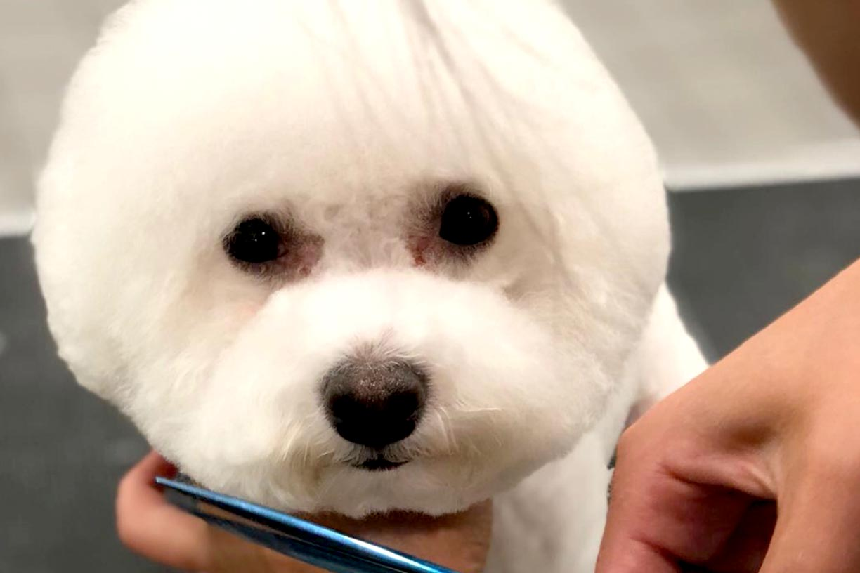 White Bichon Frise Furry Land