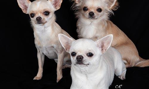 Mobile Dog Grooming Vegas - Chihuahuas